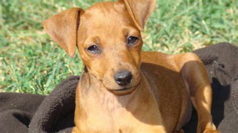 race de chien pinscher nain mutuelle animaux