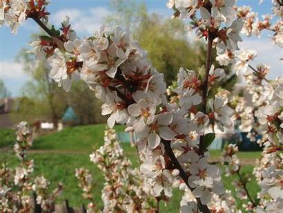 Cherry Blossoms Nature Landscapes Wallpapers Cherries Category