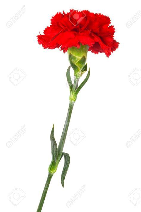 oeillet rouge photo de fleur une pensee fleuriste