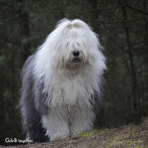 english sheepdog dog breed information  pictures