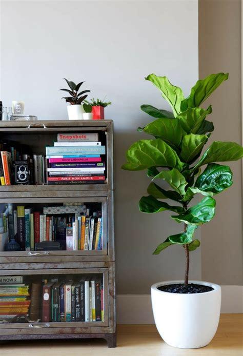 Zimmerpflanze Mit Großen Blättern