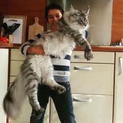 16 maine coon che faranno sembrare il vostro gatto piccolo
