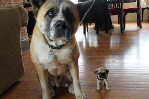 So Süß! Die Kleinsten Hunde Der Welt!