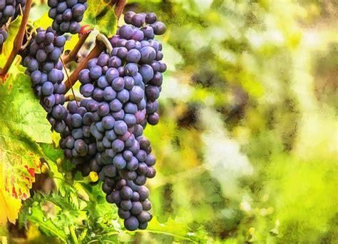 grape, grapes, large grapes, harvest, blue grapes
