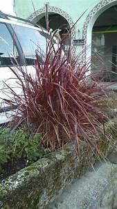 Rotes Gras Winterhart : suche pflanzen f r blumenk bel in praller sonne page 2 ~ Michelbontemps.com Haus und Dekorationen