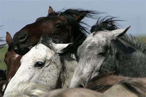 wild horses endangered species horse america north extinct west mustang american native protection federal mustangs ap zartes kanada fleisch act