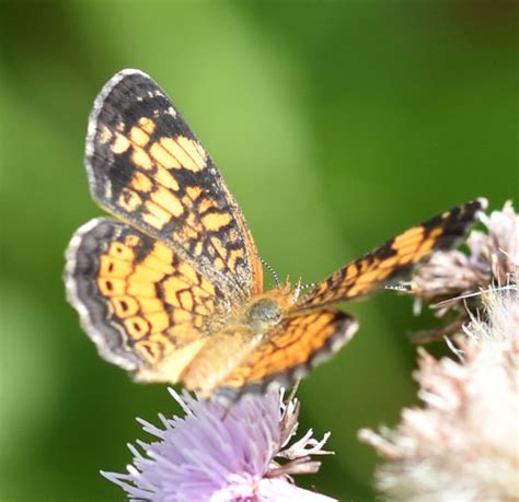 meadows mississauga butterflies flying nearby northern