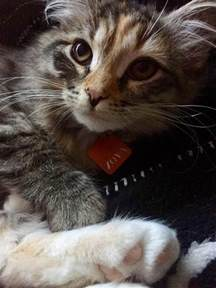 non allergenic cats hypo allergenic siberian cats and kittens for