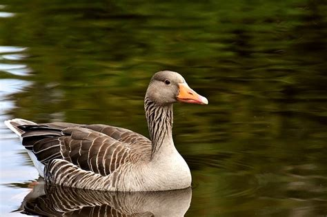 The swan has a longer neck when compared to a goose. Swan vs Goose - What is the difference? - Animal Hype
