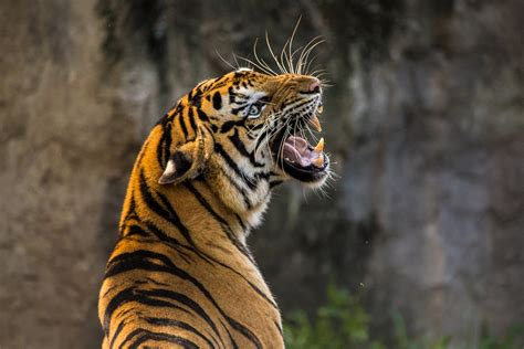 Wallpaper 1920x1200 px animals black panther panthers. Angry Tiger Wallpapers for free download HD (21)