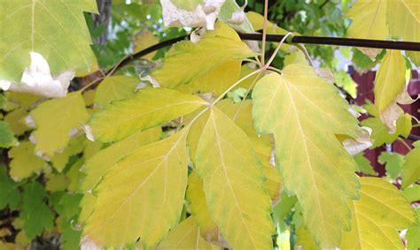 Par gada koku izvēlēta invazīvā ošlapu kļava - Ekoloģija ...