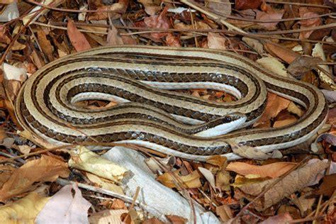 Striped Skaapsteker (Psammophylax tritaeniatus