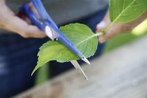 Hortensien Vermehren Wasserglas : stecklinge ziehen 7 tipps f r die erfolgreiche anzucht ~ Lizthompson.info Haus und Dekorationen