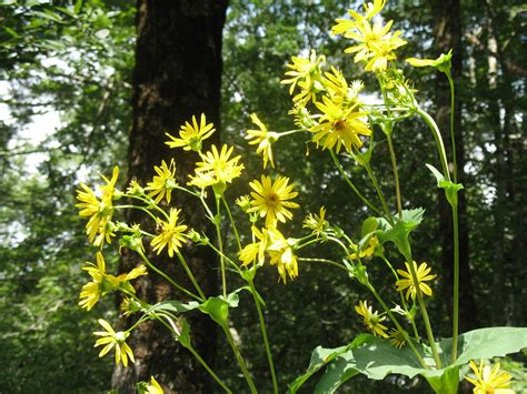 plant with like flowers tall plant with yellow daisy like flowers