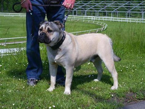 perro de presa mallorquin breed guide learn