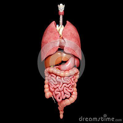 il corpo umano gli organi interni organi interni corpo umano fotografie stock libere da