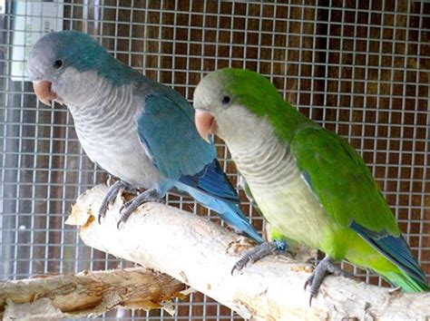 quaker parakeet bird directory quaker parrot just what you need to know