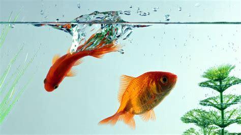 goldfish wallpapers top  goldfish backgrounds