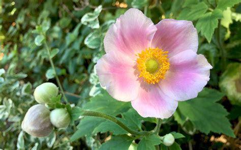 Garten Herbst Anemone by Herbst Anemone Anemone Hupehensis