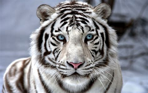 White Tiger Wallpaper Wallpapers Legend