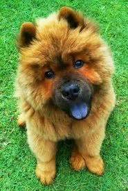 chow chow puppies pictures images  pinterest