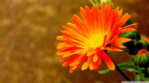 Orange Wallpaper Flower by Orange Flowers Wallpaper 1920x1080 51745