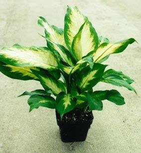 jenis tanaman hias ruangan indoor ud aurelia
