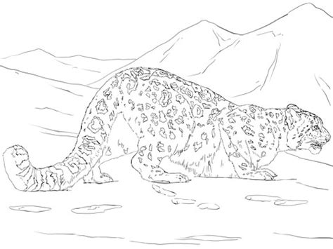 snow leopard hunting coloring page  printable