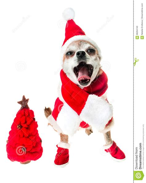 Smiling Dog Chihuahua In Santa Claus Costume With Red ...