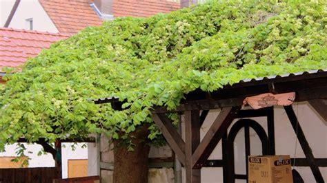 Garten Pflanzen Frühjahr by Hopfen Humulus Lupulus Hopfen Garten Wissen