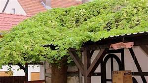 Hopfen Im Kübel Pflanzen : hopfen humulus lupulus hopfen garten wissen ~ Markanthonyermac.com Haus und Dekorationen