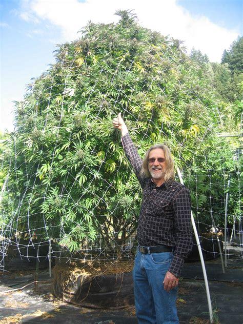 chambre de sechage cannabis séchage et manucure du cannabis du growshop alchimia