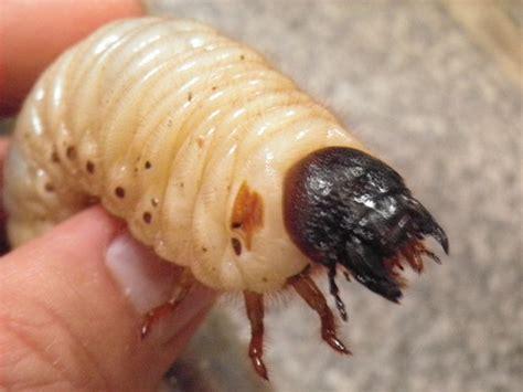カブトムシ 幼虫 動か ない