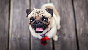 Pug On The Floor HD Wallpaper Wallpaper Studio 10 Tens