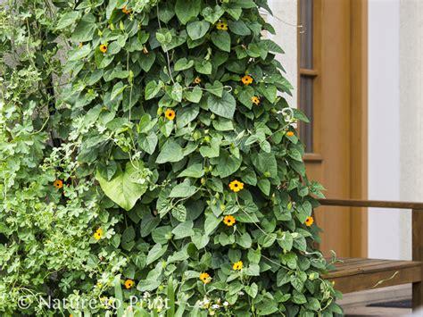 sichtschutz im pflanzkuebel mit gehoelzen kletterpflanzen