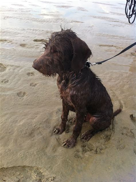 german wirehaired pointer non shedding a pudelpointer is a versatile breed from