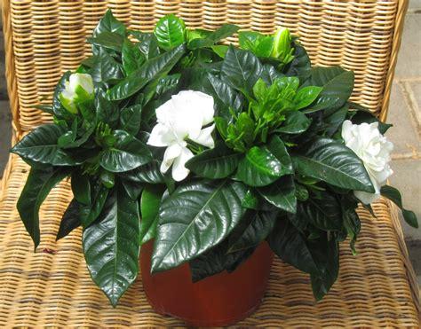 Zimmerpflanzen Schatten zimmerpflanzen für schattige plätze zimmerpflanzen f r schattige