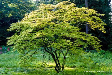 Japanischer Garten Ahorn by Japanischer Ahorn Standort Sonne Japanischer Ahorn
