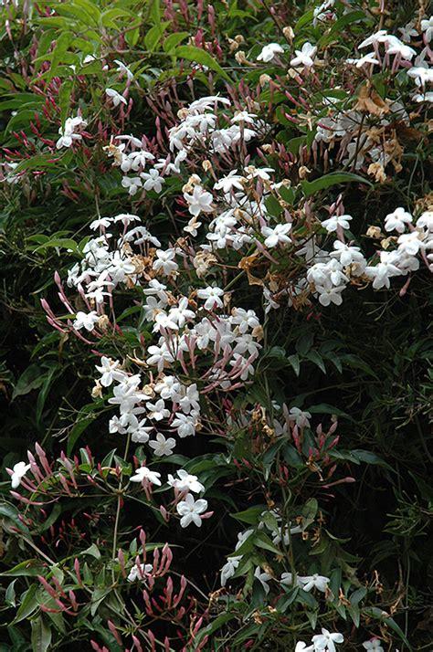Climbing Jasmine (jasminum Polyanthum) In Vancouver