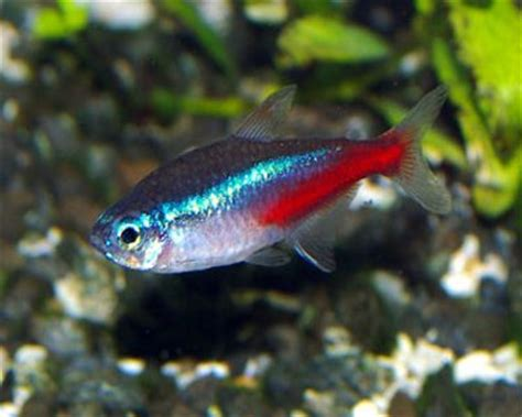 neon tetra keeping tropical fish