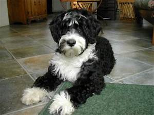 Portuguese Water Dog owners RL experience