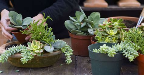 how to care for potted succulents everything you need to know about growing and caring for succulents world of succulents