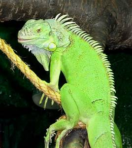 Green Iguana Male 2 by Paranoid-Universe on DeviantArt