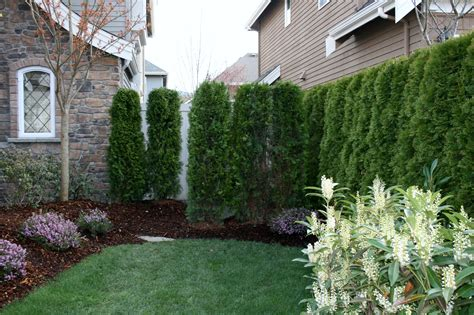 plant  frontside yard privacy hedge small yard
