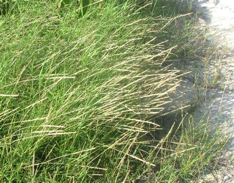 Sand Couch Grass, Sporobolus Virginicus