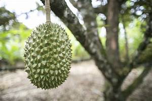 Uses For Durian Fruit – Learn About Durian Fruit Growing