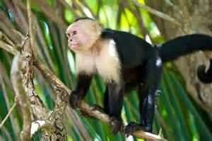 White Capuchin Monkey