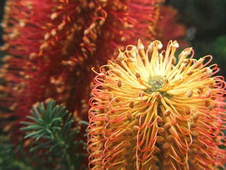 banksia australian native flowers flowers