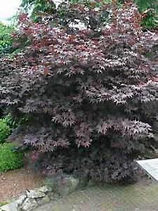 Roter Japanischer Ahorn : acer palmatum 39 atropurpureum 39 roter f cherahorn japanischer ahorn g nstig kaufen ~ Frokenaadalensverden.com Haus und Dekorationen