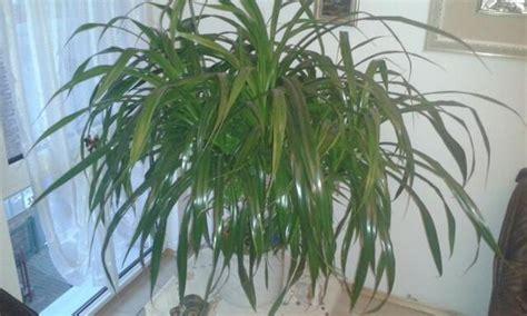 Zimmerpflanzen Portraet Schraubenbaum by Schraubenbaum Pandanus Palme Pflanze In Menden